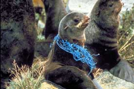 Sealion with plastic netting caught around its body