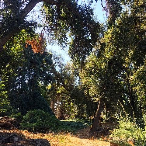 trees in Kaweah Oaks Preserve