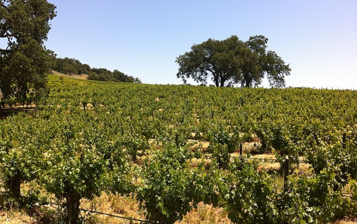 vineyard in Paso Robles