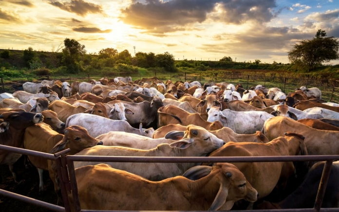 Cows in a crowded outdoor pen at sunset