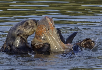 A sea otter tries to rescue her pup from a plastic bag / photo: Terry McCormac