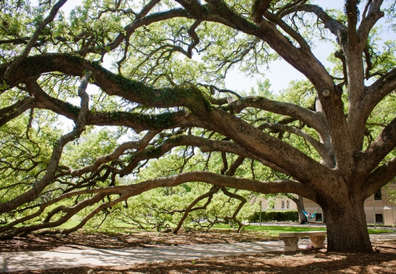 Take action to protect trees / photo: Century Tree at Texas A&M, flickr.com/derekbruff (CC BY-NC 2.0)